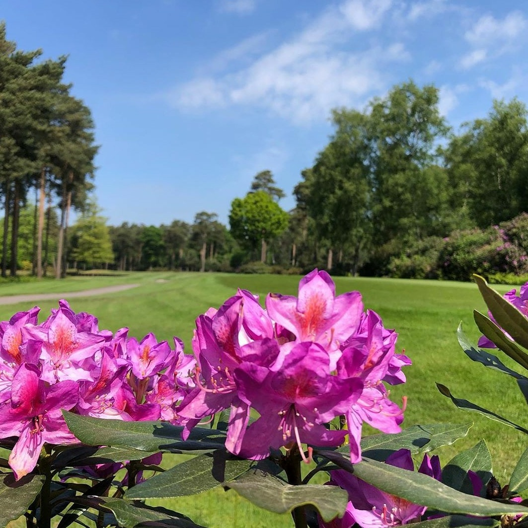 Rhododendrons on the course